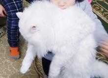 قط شيرازي ذكر للتزاوج