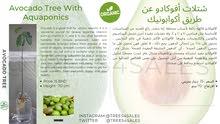 شتلات الأفوكادو عن طريق أكوابونيك/ Avocado Tree With Aquaponics