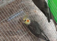 6 month old baby cockatiels for sale