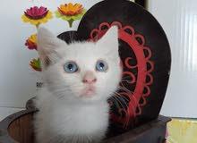 قطه شيرازي ميكس انجورا