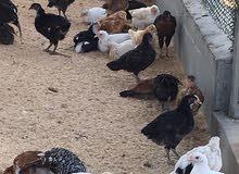 دجاج عماني عمر شهرين وخمس ايام فالسويق ب 650 بيسه