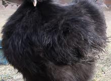 fancy silki black chicks
