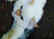 قط هملايا اورنج بيكي فيس للبيع على السوم