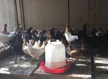 دجاج عماني محلي للبيع