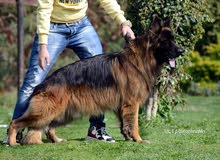 german shepherd champion