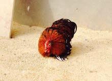 دجاجة و فروج استراليات زهري