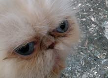 مفاجأة العروض قطة هيمالايا بيكي فيس اورانج بوينت