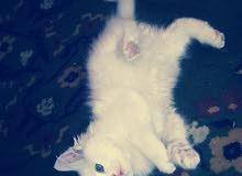 قطة شرازي  للبيع او البدل