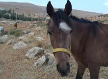 حصان وفرس للبيع