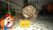 2انثي بيتبول عمرهم شهور من الرياض