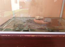 4 turtles for sale. سلاحف للبيع