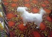 كلب جريفون ب 150 جنيه