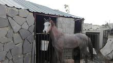 حصان عربي مسجل 1750