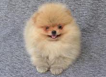 عرض العيد،، كلاب بوميرانيان ميني // Eid Offer,, Pomeranian mini //500