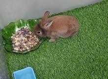 أرنب فرنسي للبيع