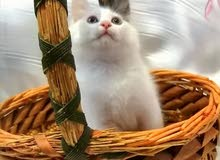 قطه للبيع ب150