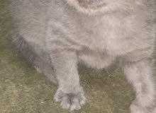 قطط-قطط شيرازي -قطط للبيع -قطط صغيره