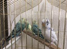 طيور البادجي للبيع