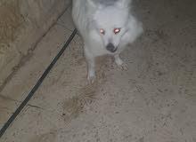 كلب اميركا الاسكا للبيع بداعي السفر ضاحية الياسمين