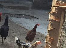 دجاج 3حبات