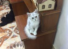 قط شيرازي صغير من أم شيرازيه وآب هملايا القط صغير العمر اربع تشهر وأليف جداً شعر كثيف جداً