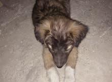كلب للبيع الأم الماني والأب بيتبول