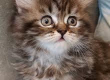قطط سيبيري