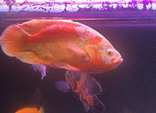 Huge size quality albino oscar , Parrot fish and severum for sale