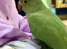 green parrot for sale Prices start150