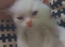 قطة جميلة راءعة