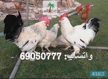 مطلوب بيض دجاج زينة حق الفقاصة
