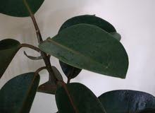 ALL ITEMS FOR 45 Dhs.RUBBER PLANT, MONEY PLANT, LUCKY BAMBOO STICK
