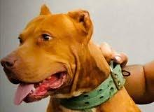 كلب بيتبول للبيع السعر 500.000