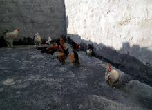 دجاج متنوع