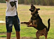 تدريب و ترويض الكلاب و الذئب