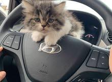 قط فارسي جميل للبيع ذكر