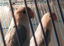 للبيع طيور . فيشر ولوف بيرد