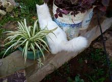 قطه شرازيه لونها ابيض ولون عيونها اخضر