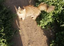 قطة هولندية للبيع