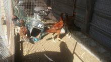 دجاج باكستاني أصلي