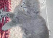3 قطط هيمالايا للبيع