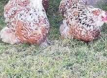 دجاج زهري لحيه وداج