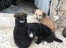 كلاب جرو لولو امريكي للبيع