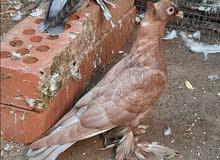 طيور 2020توب التوب مستوى قوى ونظيفه