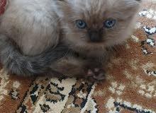 قطة هيمالايا hamalaian kitten
