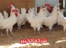 دجاج فيومي ابيض سلالة نقية