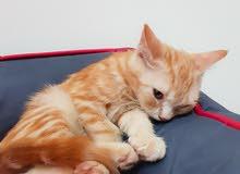 Persian Kitten Male