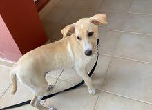 Labrador Golden Retriever Puppy Mix