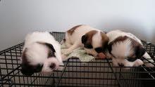 كلاب شيتزو جراوي للبيع