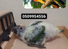 sunconure chicks فروخ سن كنيور